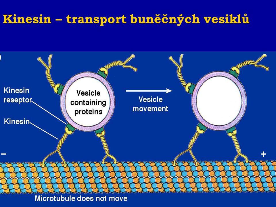Kinesin – transport buněčných vesiklů