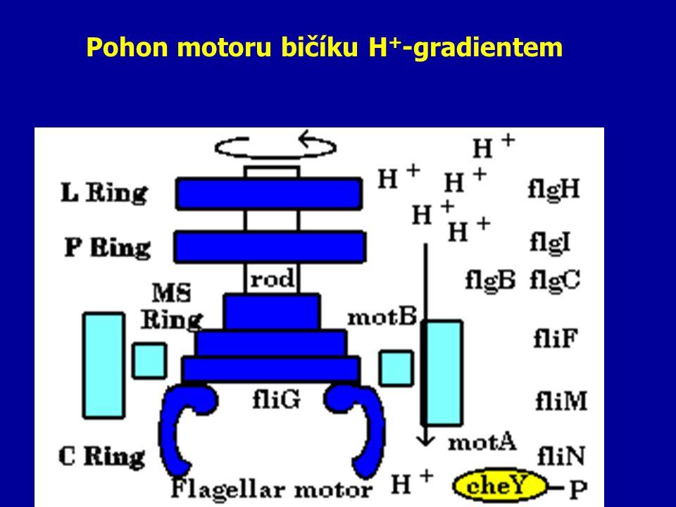 Pohon motoru bičíku H+-gradientem