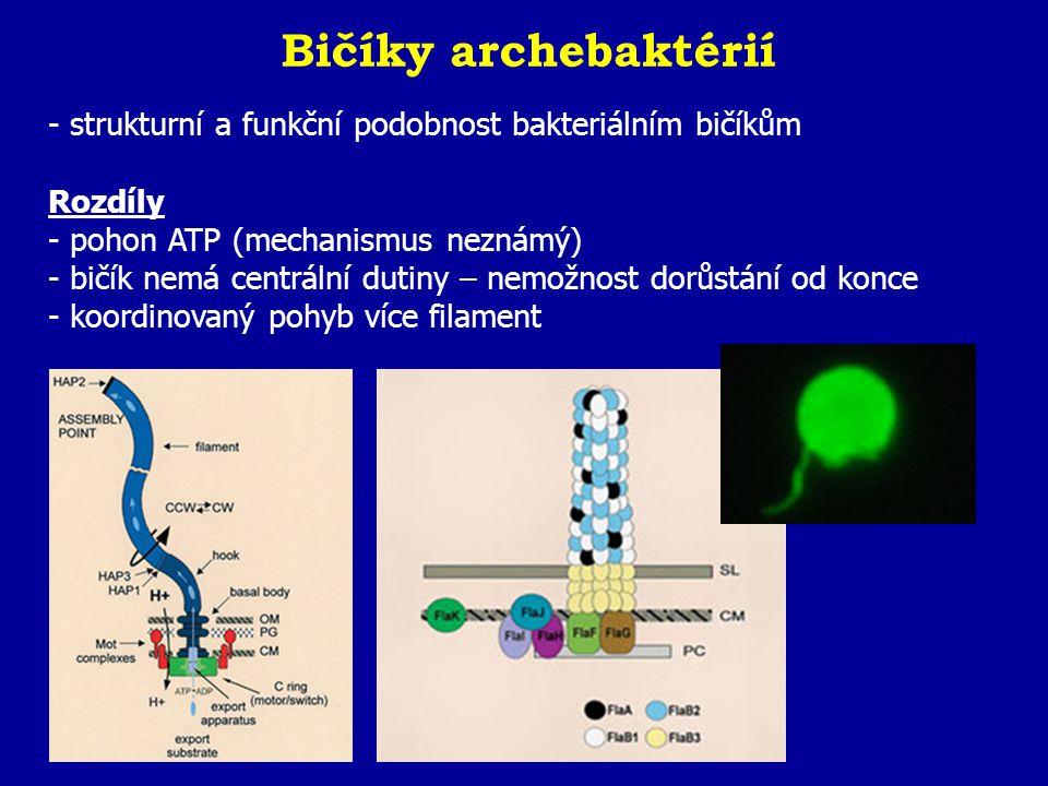 Bičíky archebaktérií strukturní a funkční podobnost bakteriálním bičíkům. Rozdíly. pohon ATP (mechanismus neznámý)