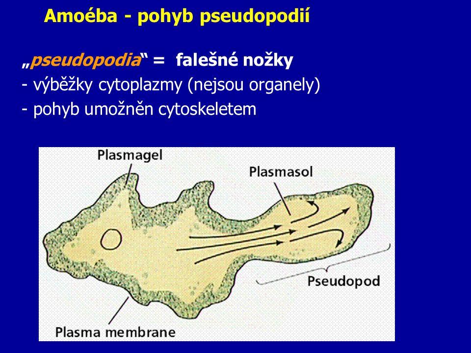 Amoéba - pohyb pseudopodií