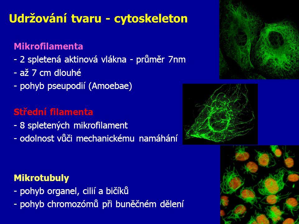 Udržování tvaru - cytoskeleton