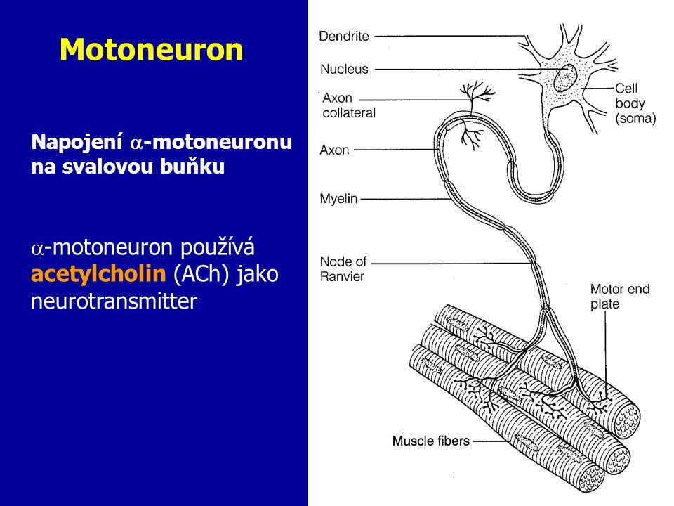 Motoneuron Napojení -motoneuronu na svalovou buňku.