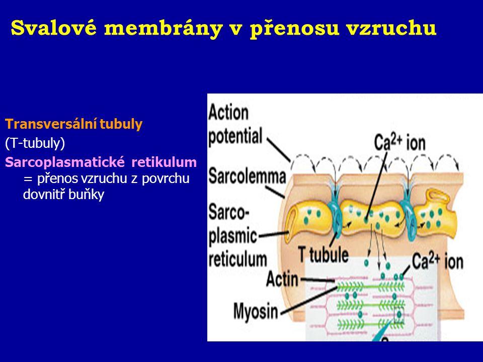 Svalové membrány v přenosu vzruchu
