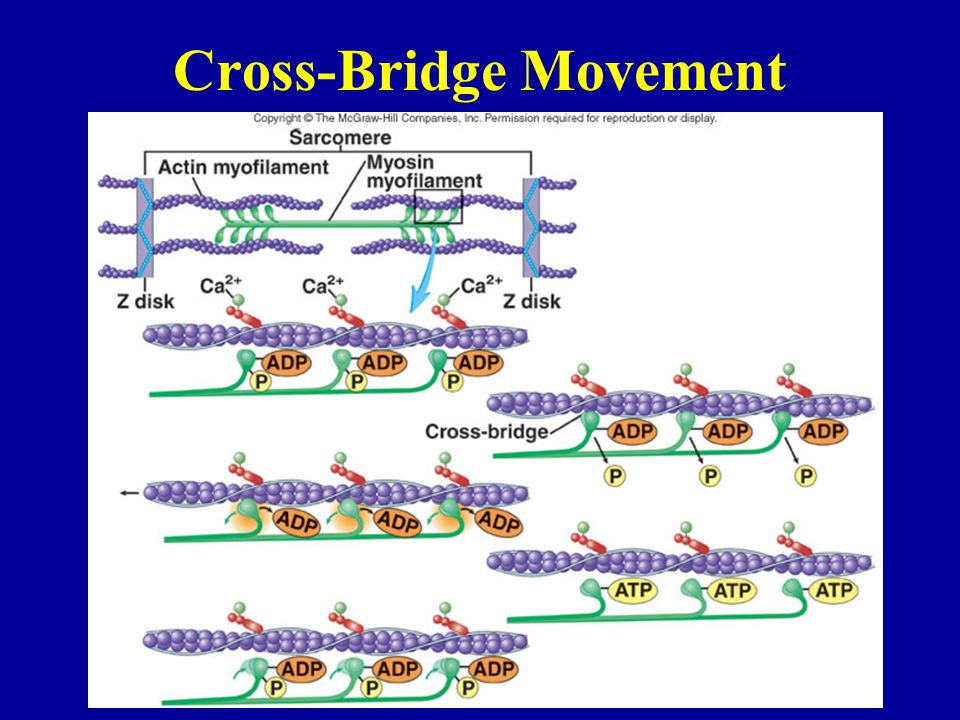 Cross-Bridge Movement