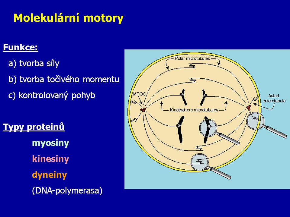 Molekulární motory Funkce: a) tvorba síly b) tvorba točivého momentu