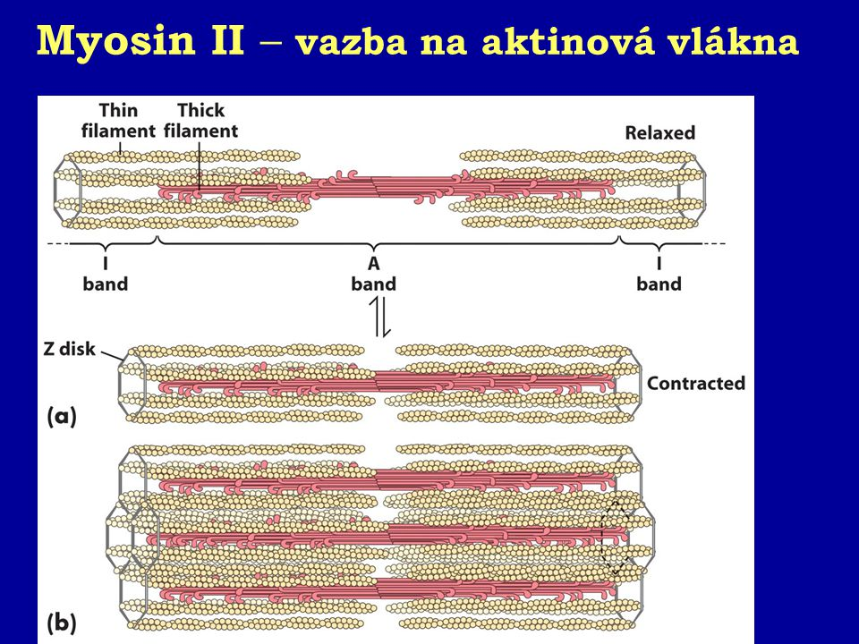 Myosin II – vazba na aktinová vlákna