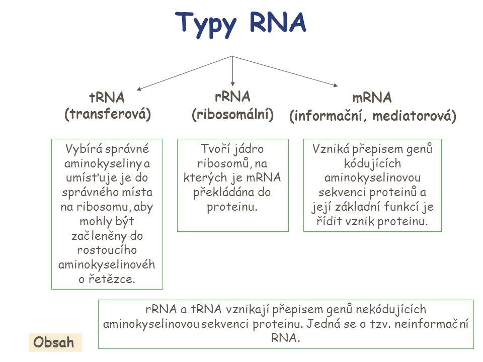 Tvoří jádro ribosomů, na kterých je mRNA překládána do proteinu.