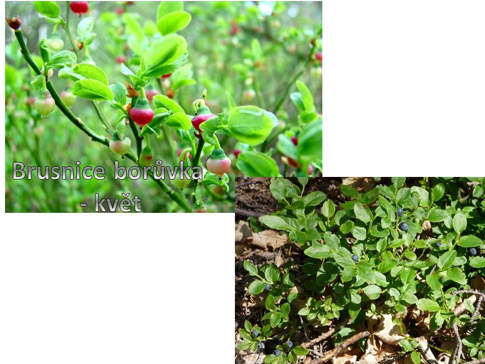 Brusnice borůvka - květ