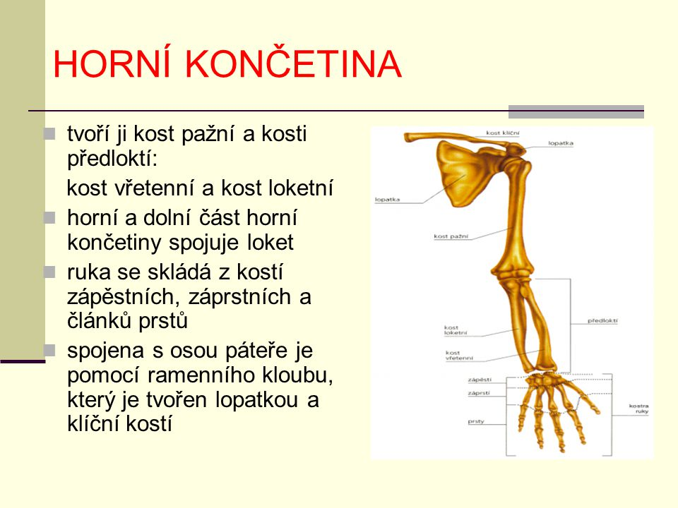 HORNÍ KONČETINA tvoří ji kost pažní a kosti předloktí: