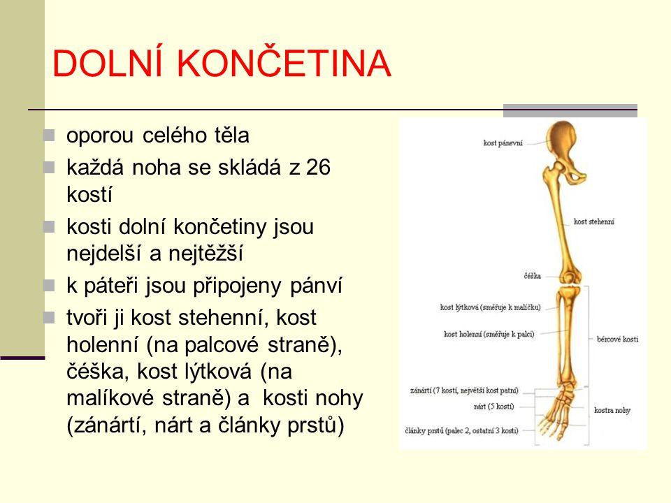 DOLNÍ KONČETINA oporou celého těla každá noha se skládá z 26 kostí