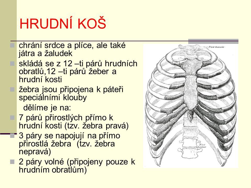 HRUDNÍ KOŠ chrání srdce a plíce, ale také játra a žaludek