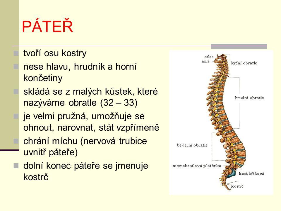 PÁTEŘ tvoří osu kostry nese hlavu, hrudník a horní končetiny