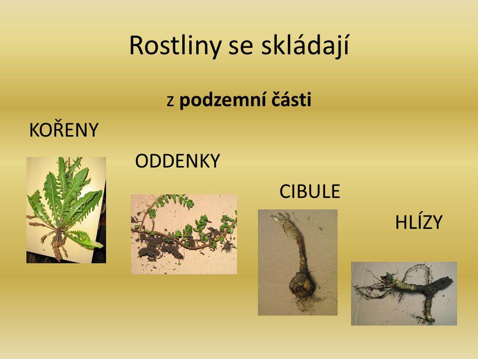 Rostliny se skládají z podzemní části KOŘENY ODDENKY CIBULE HLÍZY