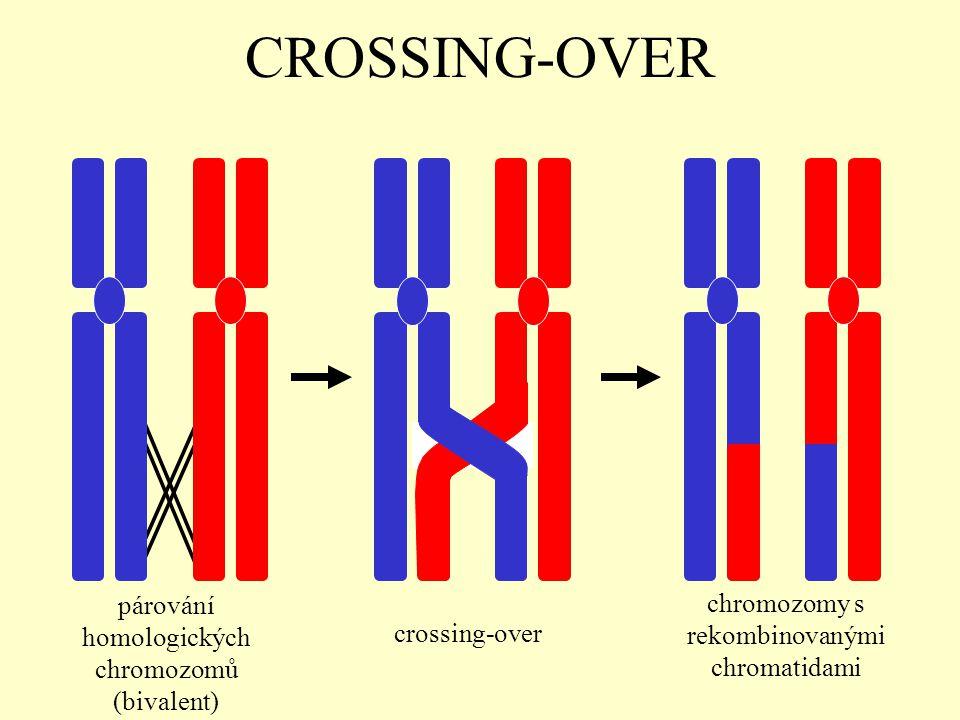 CROSSING-OVER párování homologických chromozomů (bivalent)