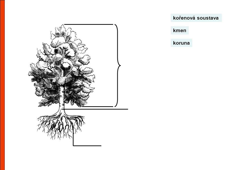 kořenová soustava kmen koruna