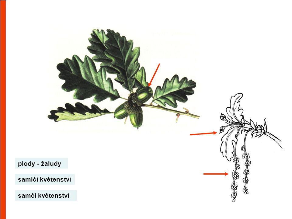 plody - žaludy samičí květenství samčí květenství