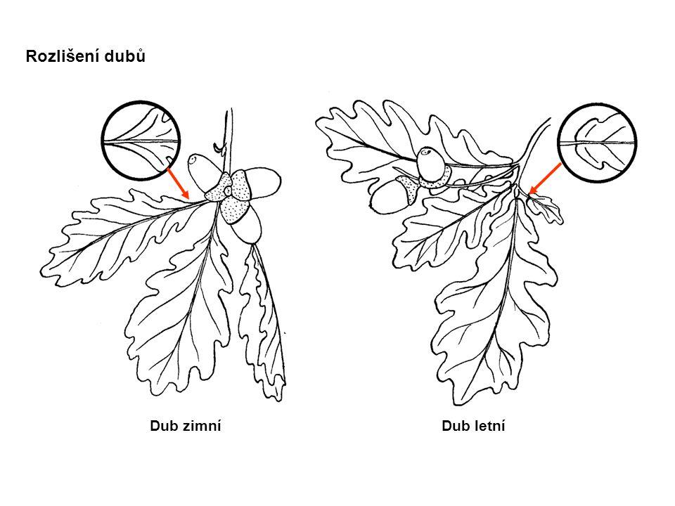 Rozlišení dubů Dub zimní Dub letní