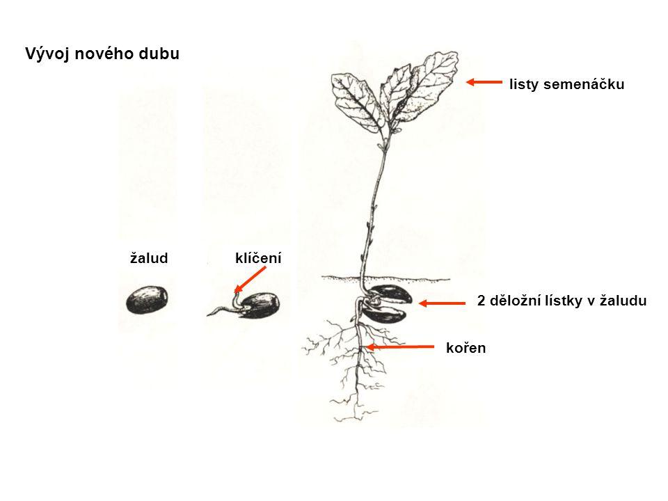 Vývoj nového dubu 2 děložní lístky v žaludu žalud klíčení kořen