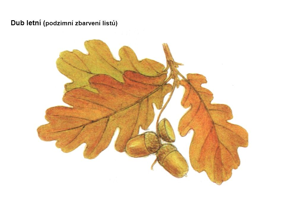 Dub letní (podzimní zbarvení listů)