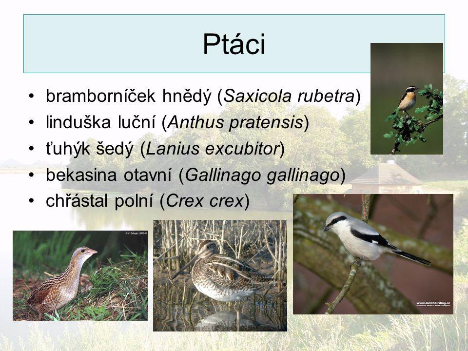 Ptáci bramborníček hnědý (Saxicola rubetra)