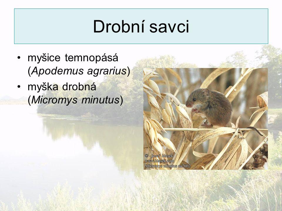 Drobní savci myšice temnopásá (Apodemus agrarius)