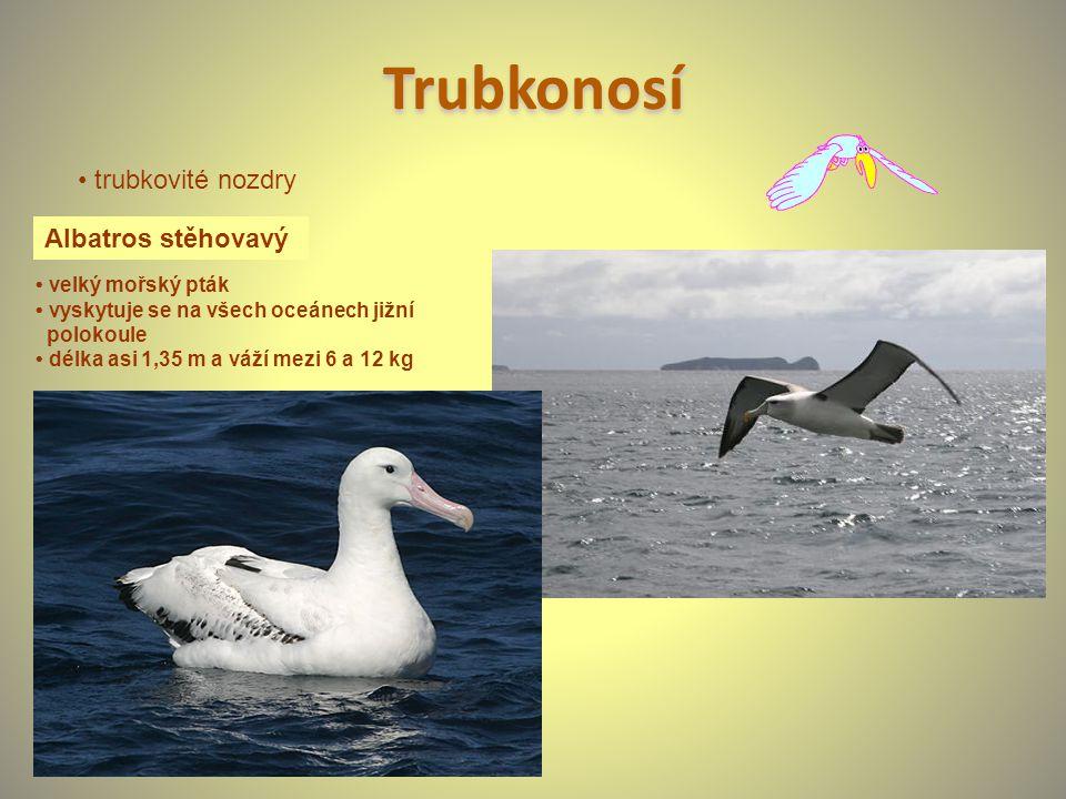 Trubkonosí • trubkovité nozdry Albatros stěhovavý • velký mořský pták