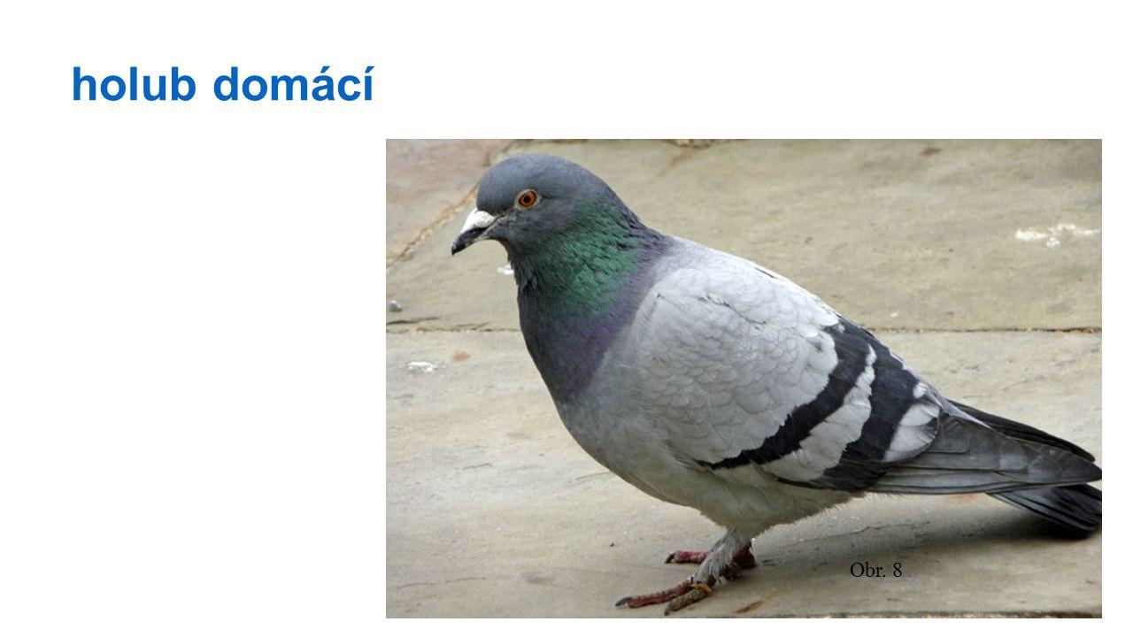 holub domácí Obr. 8