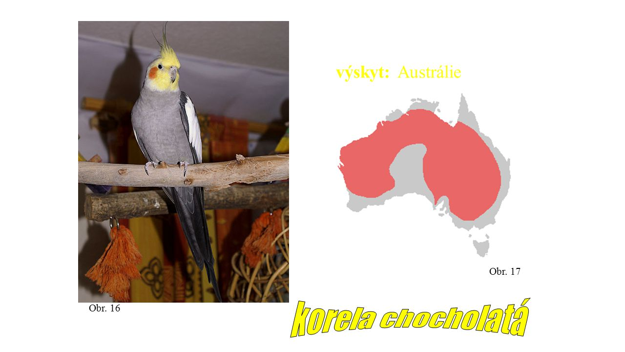 výskyt: Austrálie Obr. 17 Obr. 16 korela chocholatá