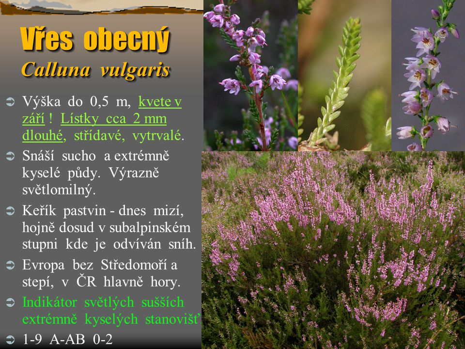 Vřes obecný Calluna vulgaris