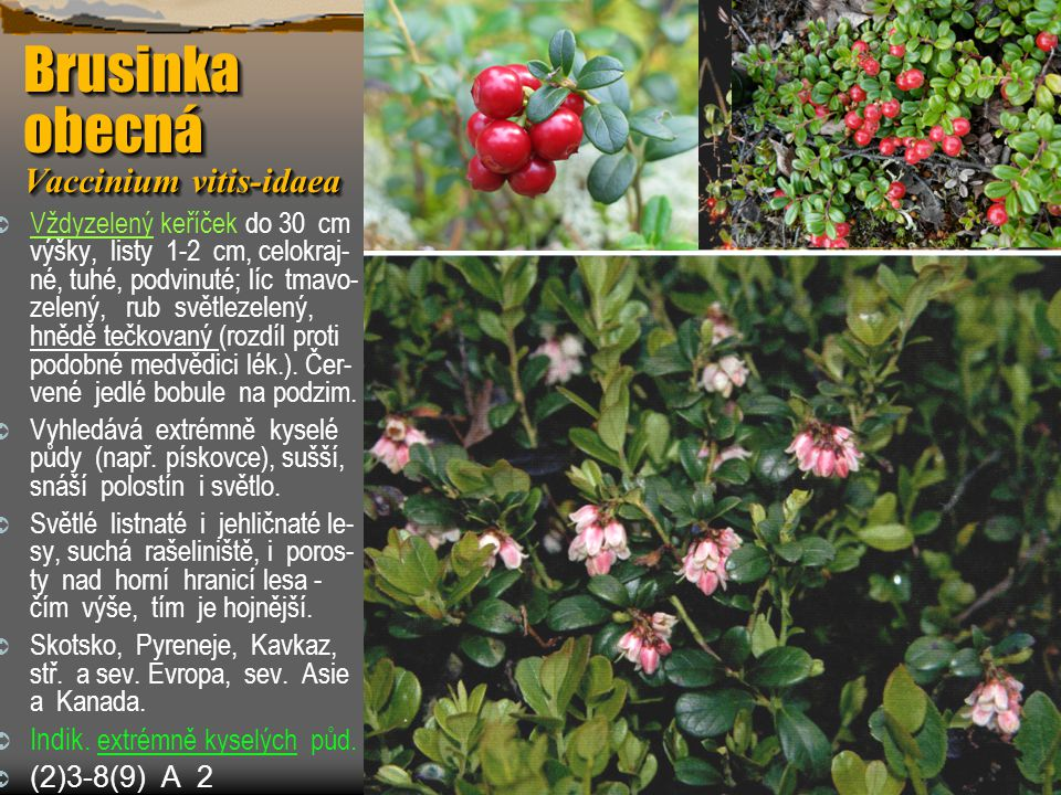 Brusinka obecná Vaccinium vitis-idaea