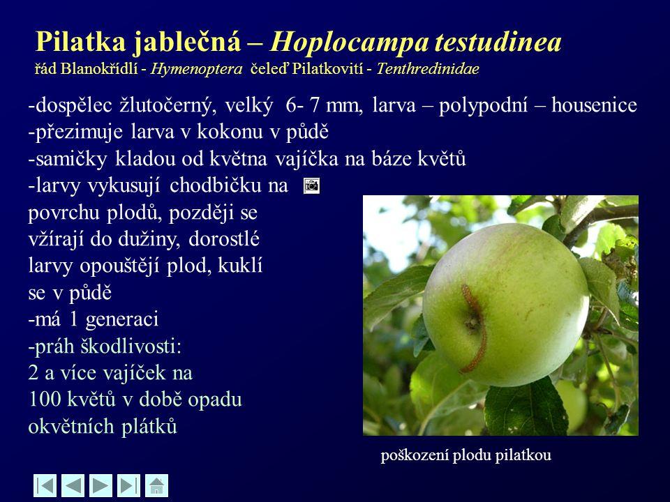 Pilatka jablečná – Hoplocampa testudinea řád Blanokřídlí - Hymenoptera čeleď Pilatkovití - Tenthredinidae