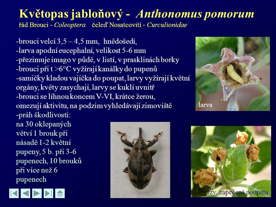 Květopas jabloňový - Anthonomus pomorum řád Brouci - Coleoptera čeleď Nosatcovití - Curculionidae