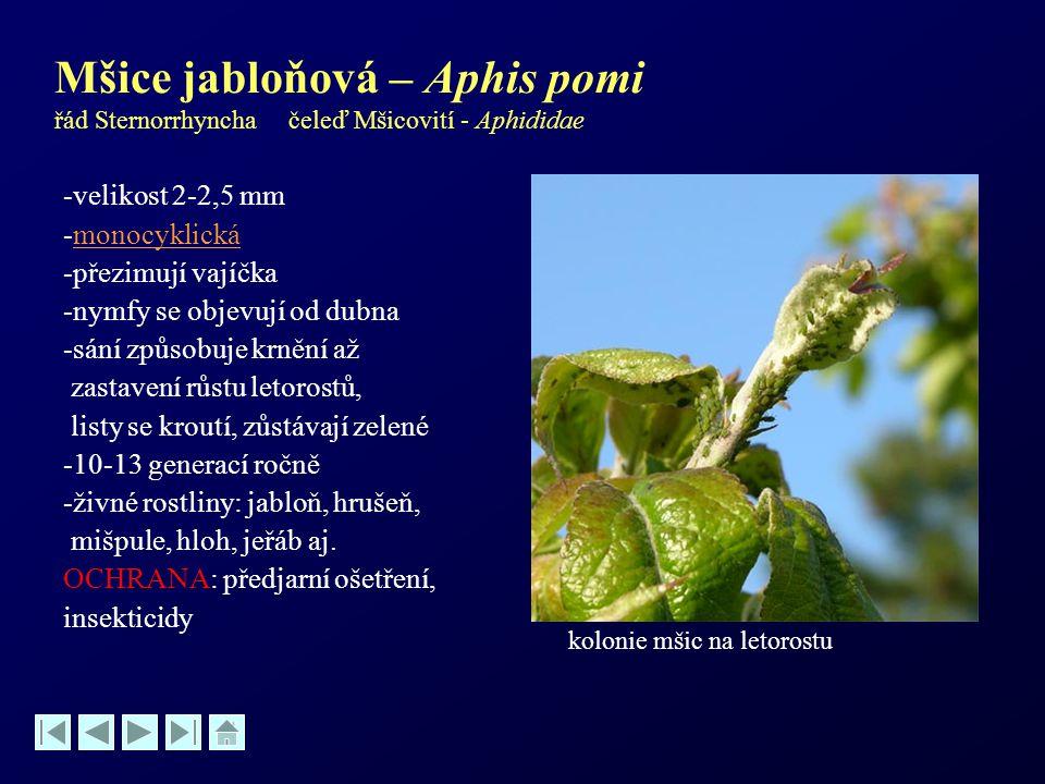 Mšice jabloňová – Aphis pomi řád Sternorrhyncha čeleď Mšicovití - Aphididae