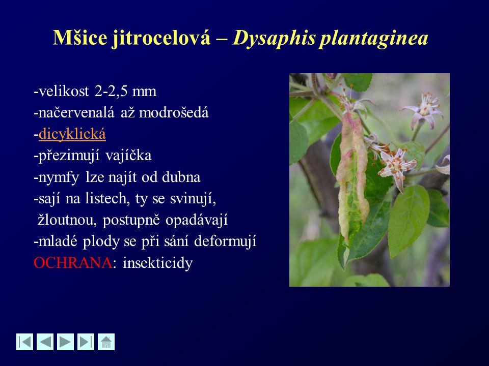 Mšice jitrocelová – Dysaphis plantaginea