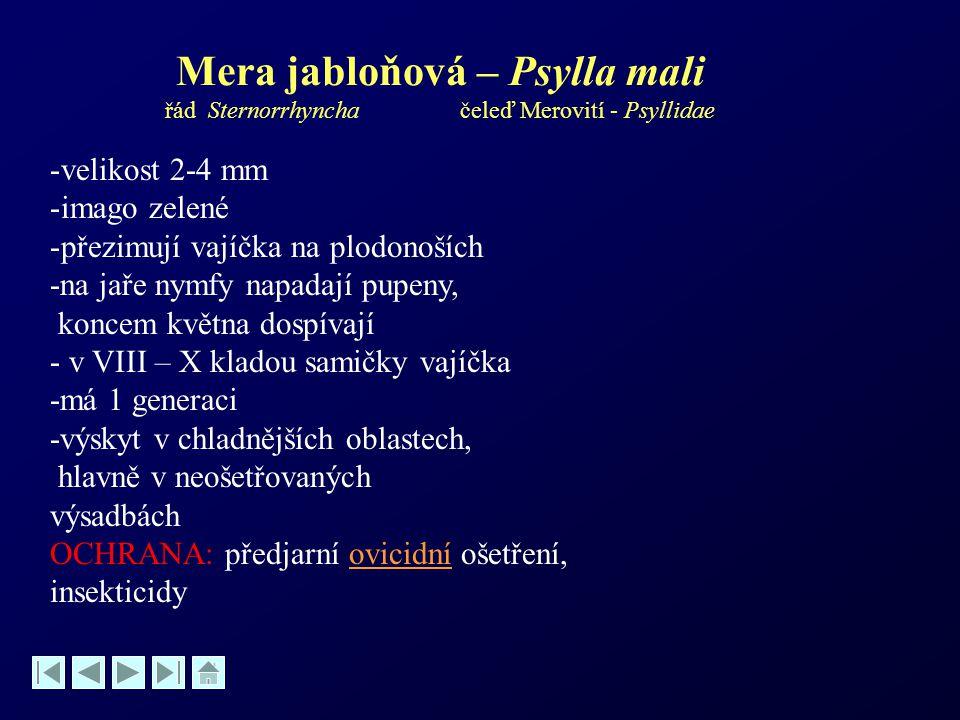 Mera jabloňová – Psylla mali řád Sternorrhyncha čeleď Merovití - Psyllidae