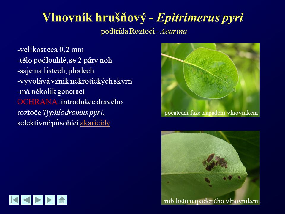 Vlnovník hrušňový - Epitrimerus pyri podtřída Roztoči - Acarina