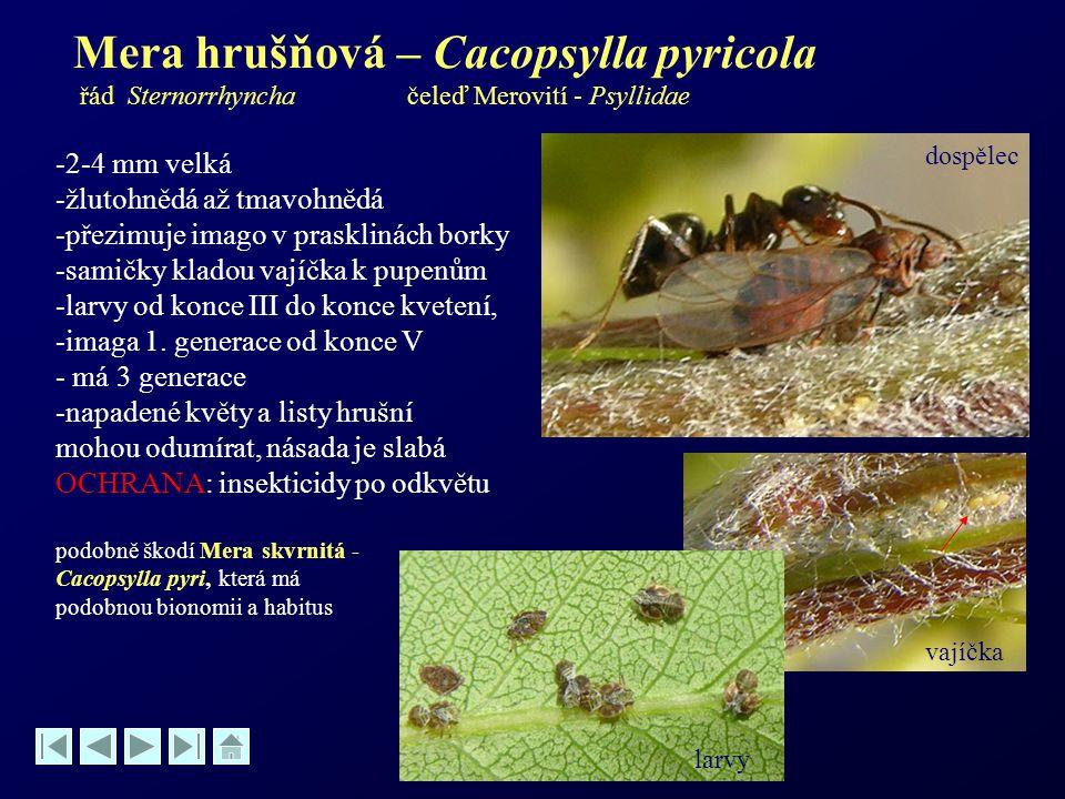 Mera hrušňová – Cacopsylla pyricola řád Sternorrhyncha čeleď Merovití - Psyllidae