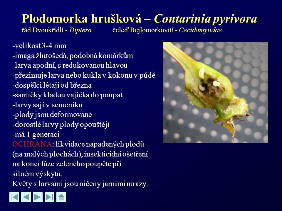 Plodomorka hrušková – Contarinia pyrivora řád Dvoukřídlí - Diptera čeleď Bejlomorkovití - Cecidomyiidae