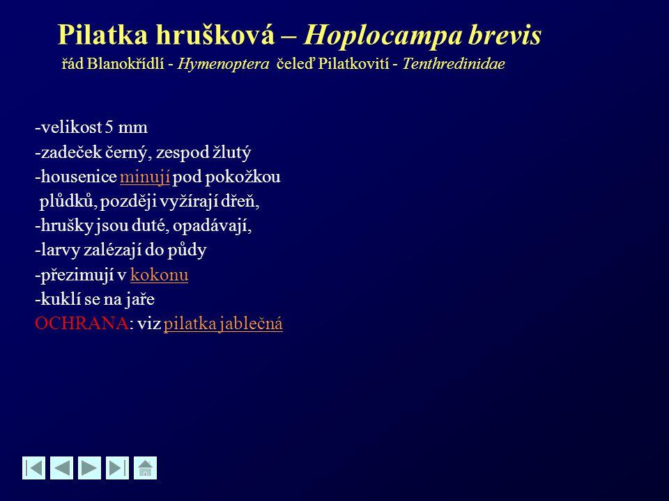 Pilatka hrušková – Hoplocampa brevis řád Blanokřídlí - Hymenoptera čeleď Pilatkovití - Tenthredinidae