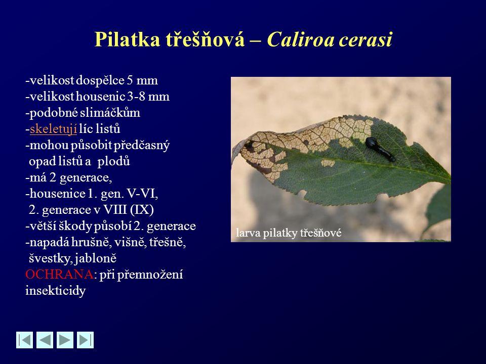 Pilatka třešňová – Caliroa cerasi