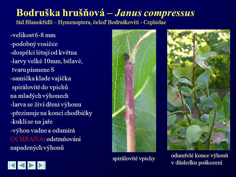 Bodruška hrušňová – Janus compressus řád Blanokřídlí – Hymenoptera, čeleď Bodruškovití - Cephidae