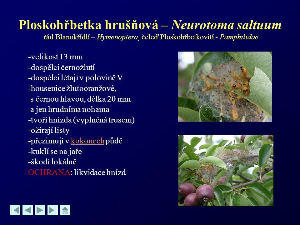 Ploskohřbetka hrušňová – Neurotoma saltuum řád Blanokřídlí – Hymenoptera, čeleď Ploskohřbetkovití - Pamphilidae