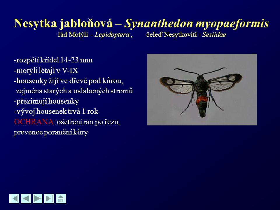 Nesytka jabloňová – Synanthedon myopaeformis řád Motýli – Lepidoptera , čeleď Nesytkovití - Sesiidae
