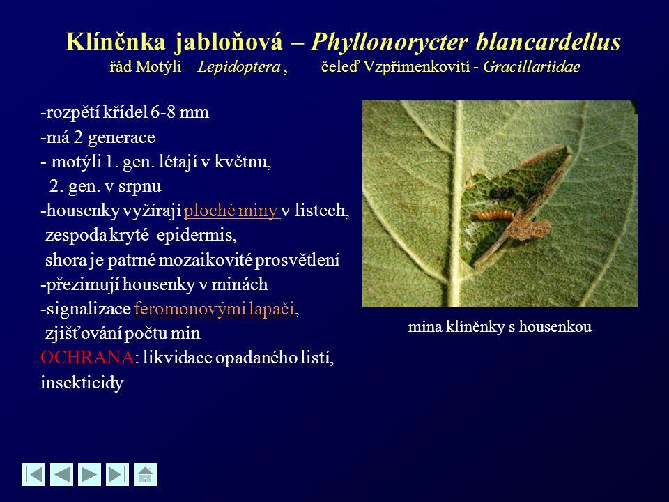 Klíněnka jabloňová – Phyllonorycter blancardellus řád Motýli – Lepidoptera , čeleď Vzpřímenkovití - Gracillariidae