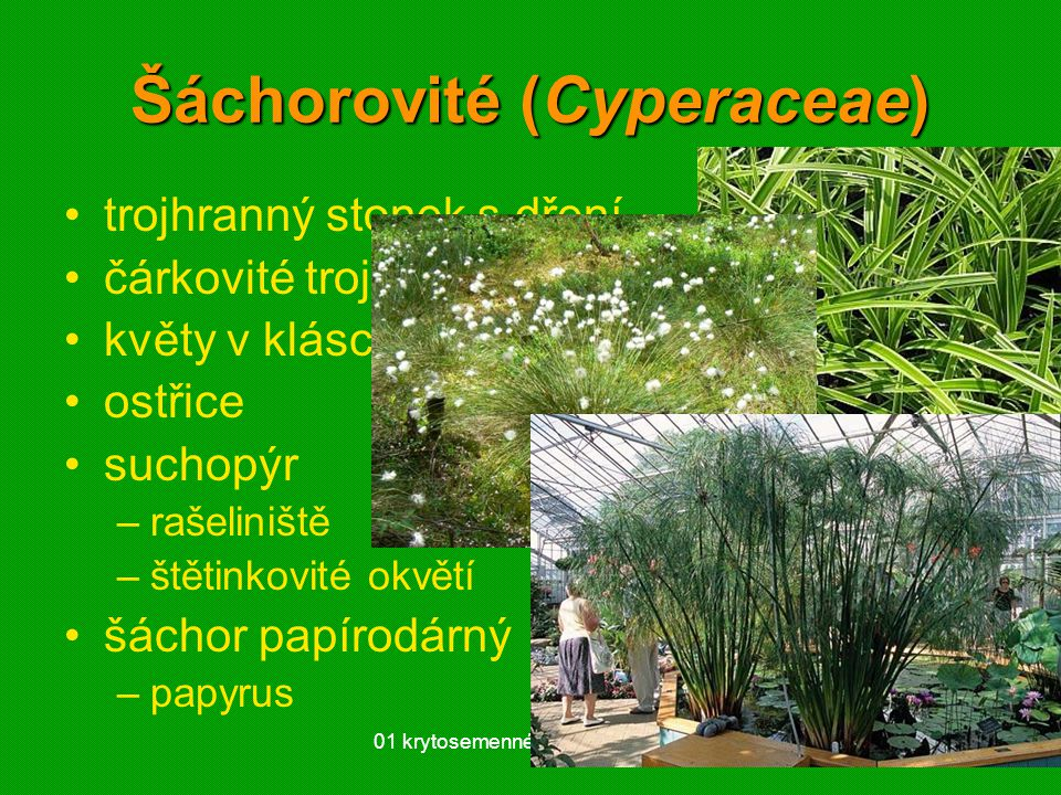 Šáchorovité (Cyperaceae)