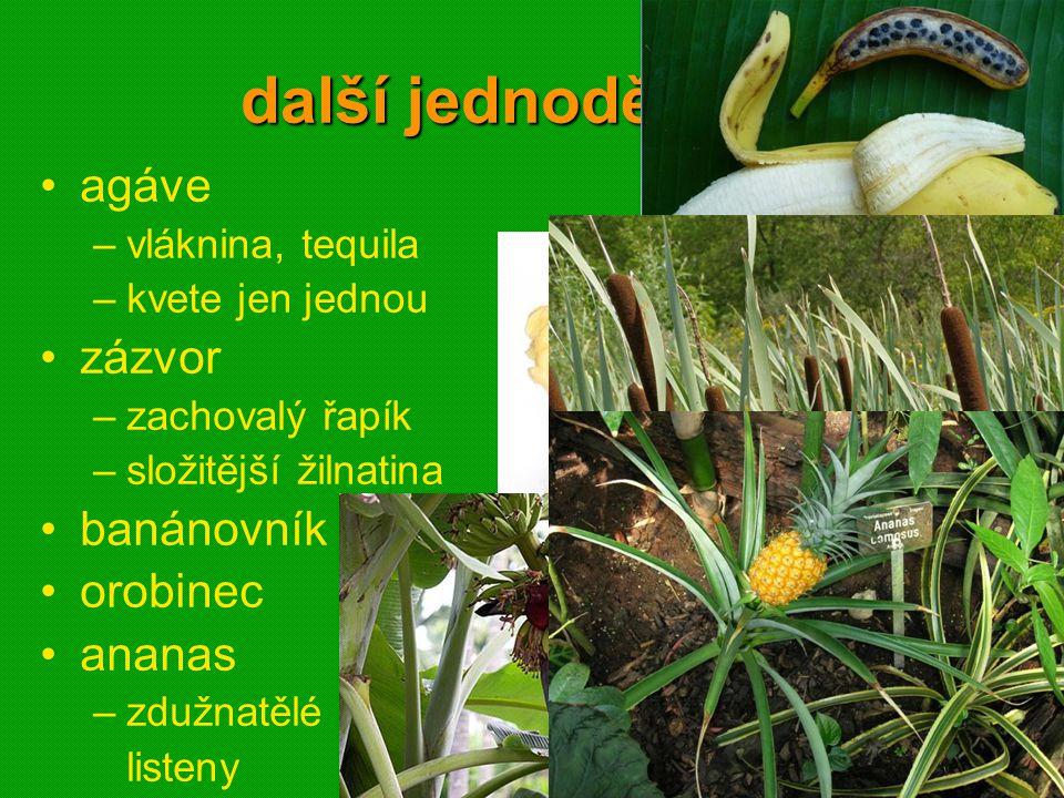 další jednoděložné agáve zázvor banánovník orobinec ananas