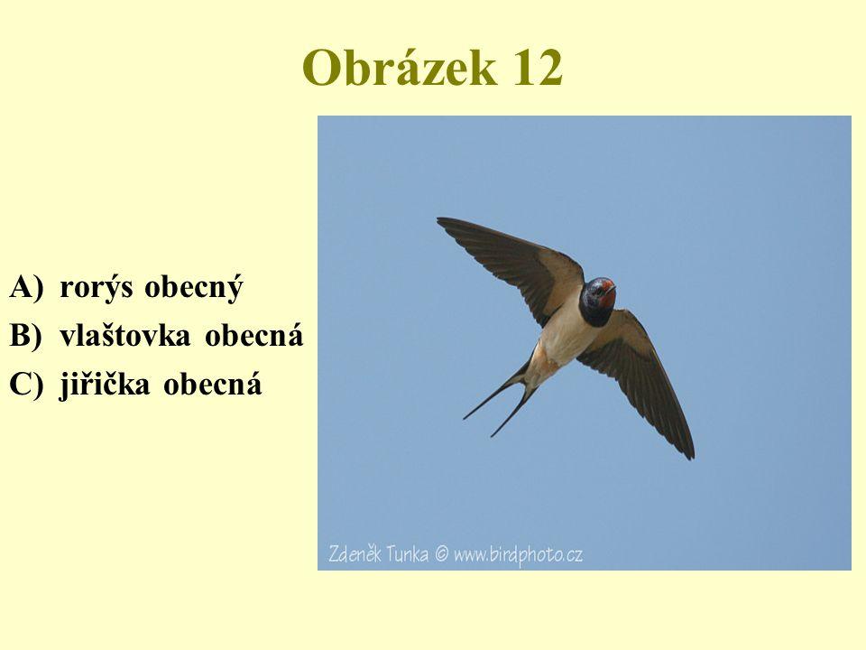 Obrázek 12 rorýs obecný vlaštovka obecná jiřička obecná