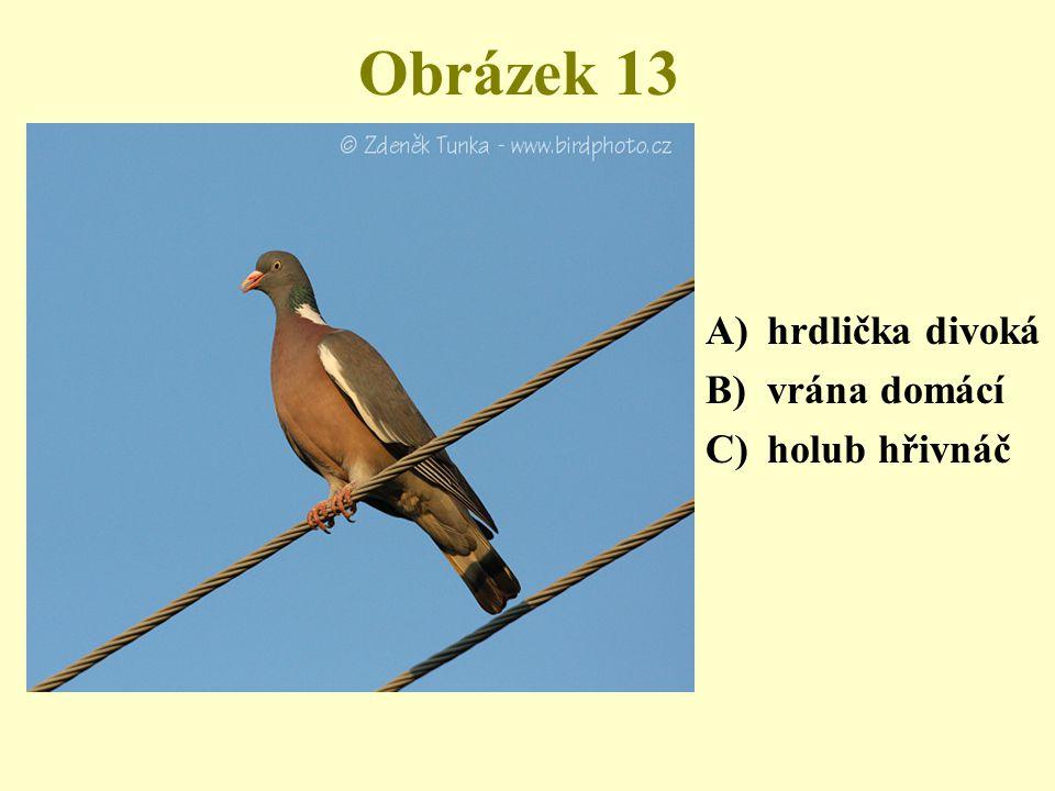 Obrázek 13 hrdlička divoká vrána domácí holub hřivnáč