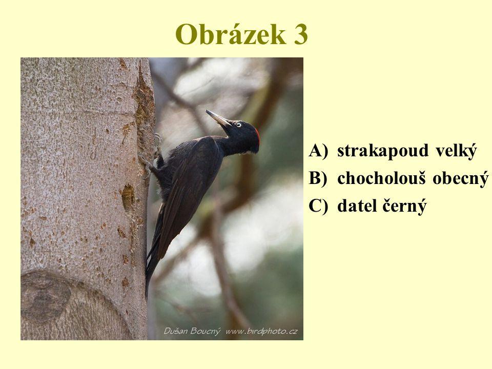 Obrázek 3 strakapoud velký chocholouš obecný datel černý