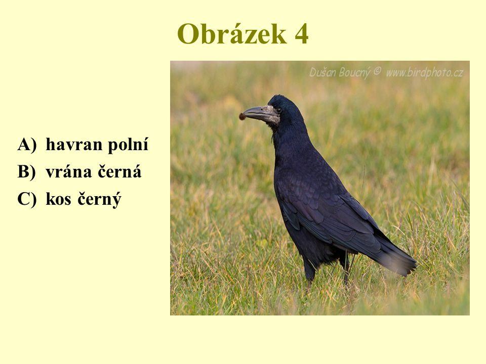 Obrázek 4 havran polní vrána černá kos černý